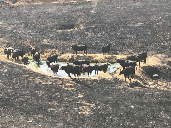 Black cows stand in and around a watering hole surrounded by bare ground.