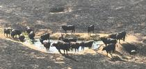 Tony Toso's cattle gather at a watering hole after the Detwiler Fire in Mariposa County in 2017. During disasters, ranchers need access to their livestock to ensure they are out of harm's way and have food and water. Photo by Tony Toso for Green Blog Blog