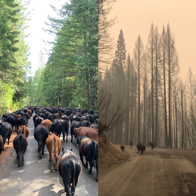 On the left, tall, sunlit green evergreen trees flank the road packed with black cows and brown cows. On the right, 6 black cows walk down the road flanked by tall, burnt trees through brown smoke-choked air.