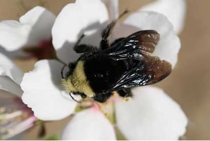 wild bee on an almond flower