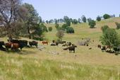Cattle graze California rangeland.