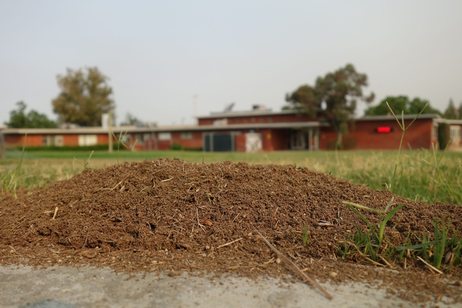 In California, RIFA mounds frequently resemble gopher mounds because they consist of a circular upwelling of loose soil.