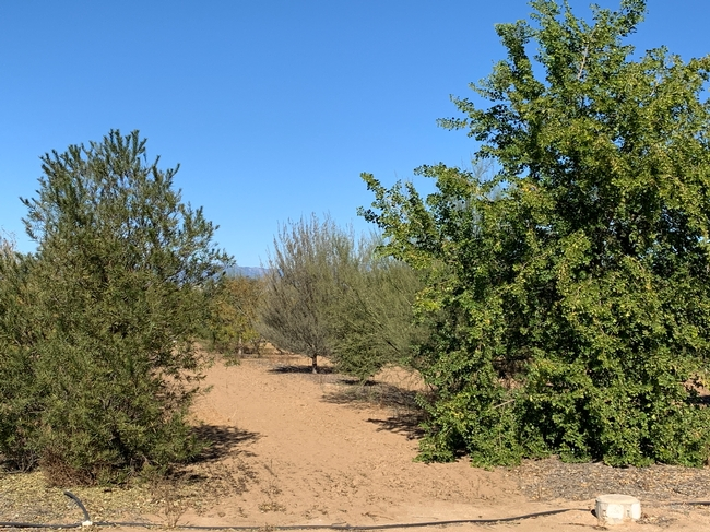 Trees in a UC ANR study in which irrigation was turned off three years after establishment.