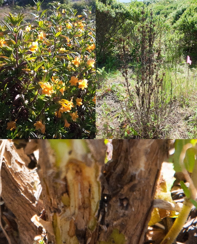 Clockwise from upper left, healthy plant, Diplacus aurantiacus plants infected with Phytophthora  and canker from which Phytophthora megasperma was isolated. Photos by Laura Sims