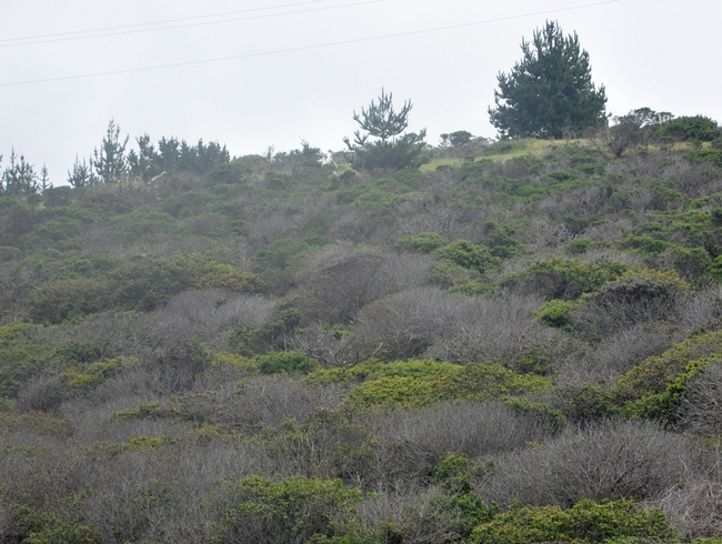 Dead and dying coffeeberry (Frangula californica) shrubs are clearly visible in a failing restoration in a coastal scrub site in San Mateo County, dominated by shrubs with occasional small groups of trees. Phytophthora crassamura and P. megasperma were both isolated directly from symptomatic tissue and from the rhizosphere (i.e. soil and fine roots) of diseased plants. Photo by Laura Sims.