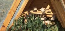 Chickens perch and graze inside the tractor on a UC Davis research plot. for Green Blog Blog