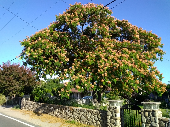 Trees like this mimosa tree require life-long care to survive. Photo by Annemiek Schilder