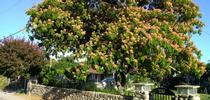 Trees like this mimosa tree require life-long care to survive. Photo by Annemiek Schilder for Green Blog Blog