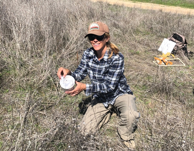 BLM botanist Beth Brenneman releasing yellow starthistle rosette weevils in a field of yellow starthistle in April 2021. (Photo: Scott Oneto)