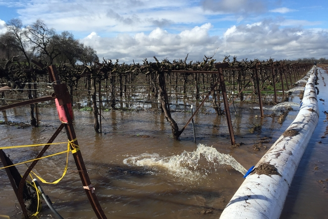 Consumnes River water floods a vineyard in order to recharge groundwater in an experiment conducted by the Dahlke Lab at UC Davis. (Photo: Helen Dahlke)