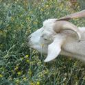 Goats have large livers that allow processing of compounds less digestible or more toxic to other grazers.