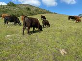 Black and brown cows graze on a green grass hillside under blue skies.