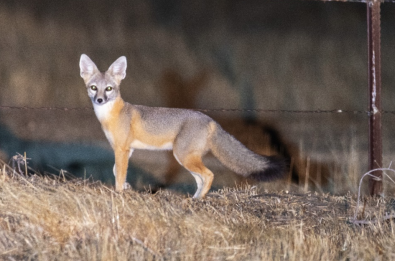 For the larger native animals like the San Joaquin kit fox, taller, dense vegetation can obscure the visibility of predators. Photo by Tim Ludwick USFWS