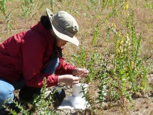 Person releasing weevils for the biological control of Dalmatian toadflax. (Photo: Lincoln Smith USDA-ARS)