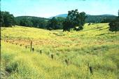 Yellow starthistle is an invasive rangeland weed. (Photo: J. M. DiTomaso)