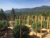 Outdoor planting of cannabis bushes supported by trellising. Green forest in background.