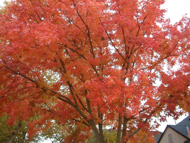 A mature tree with a full canopy of red leaves.