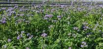 Lacy Phacelia cover crop in a vineyard. Photo by Lauren Hale for Green Blog Blog