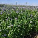 Lacy Phacelia cover crop in a vineyard. Photo by Lauren Hale