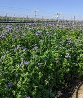 Small purple flowers bloom atop the slender green stems growing between the grape vine rows.