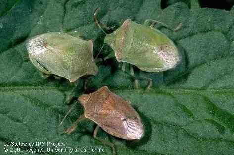 Stinkbugs