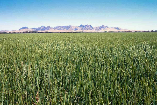 Colusa County rice, which has at least three severe weed species.
