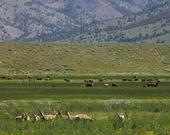 In Modoc County, cattle share rangeland with wildlife.