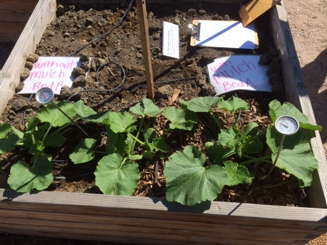 A bed of growing winter squash transforms into a experiment bed for analyzing and interpreting data