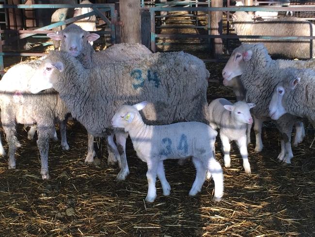 Lambing pens