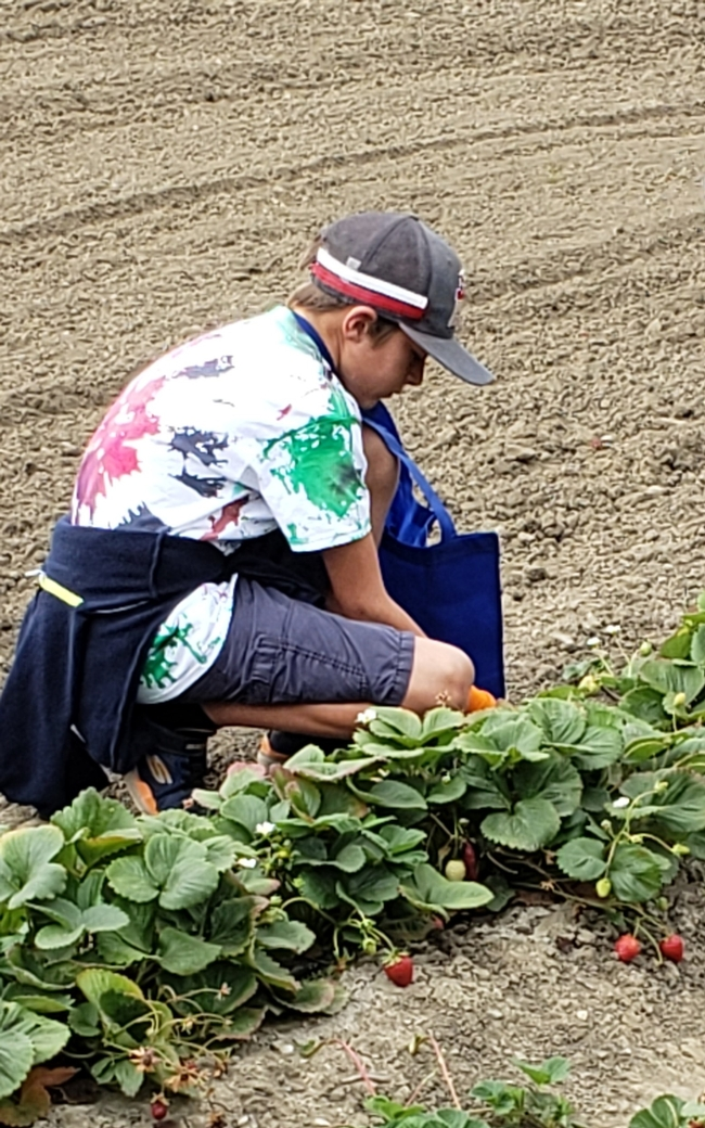 today's harvest, farm fresh strawberries