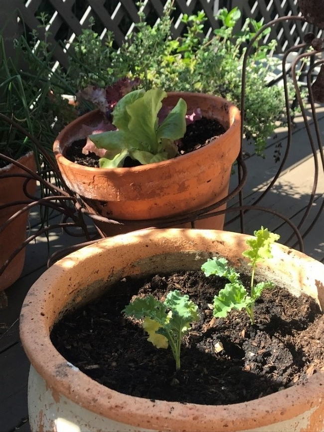 Kale and lettuce planted in pots