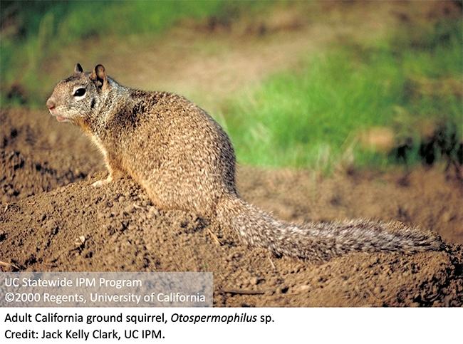 Adult California ground squirrel