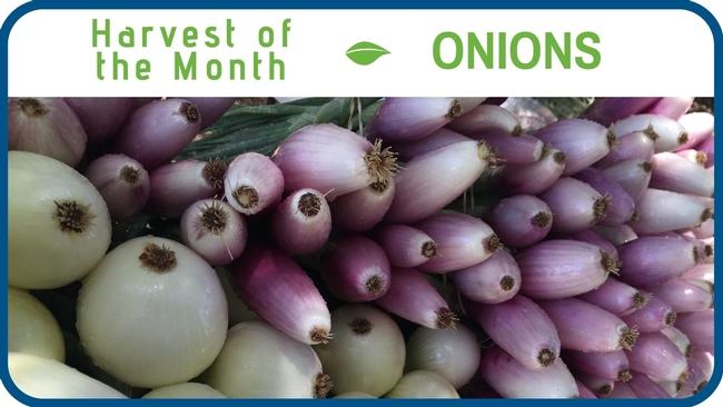Onions April