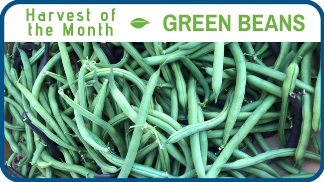 Green Beans June