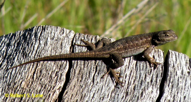 Western FEnce Lizard -RSLane copy