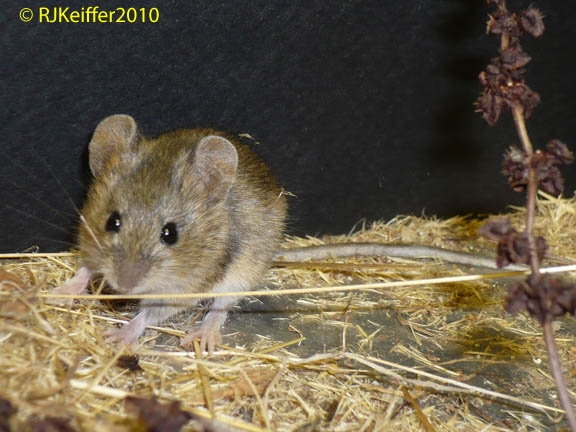WesternHarvestMouse082 copy