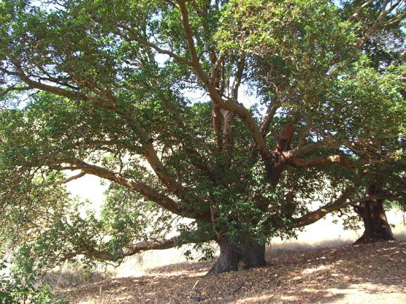 Pacific Madrone by Pat Murphy