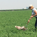UCCE Advisor Rachael Long demonstrates using a sweep net to monitor for alfalfa weevils.