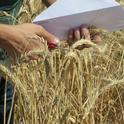 Wheat at IREC