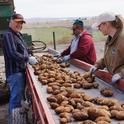 Sorting Potatoes