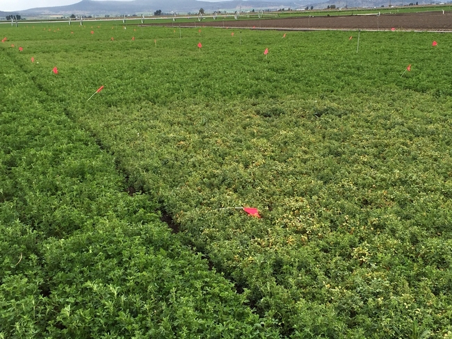 Blue Aphid Research Plots