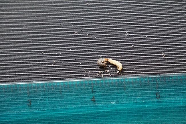 Clover root curculio larvae