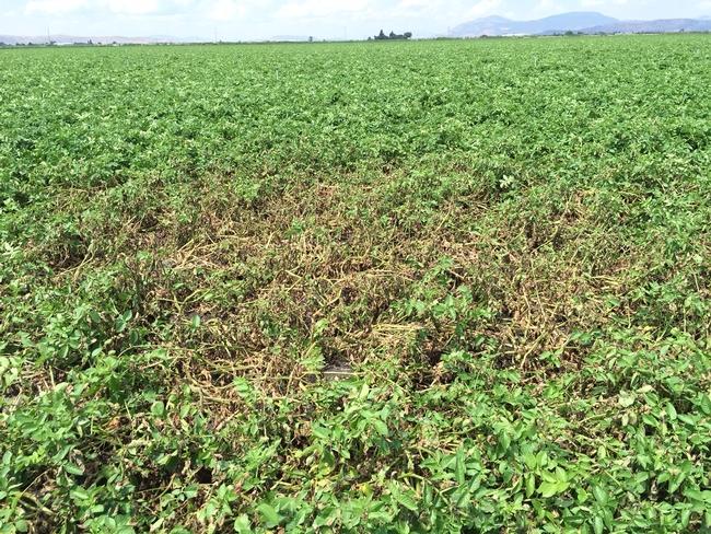 Late Blight  Infestation in a Field
