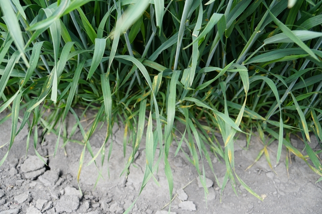 stripe rust in a wheat field