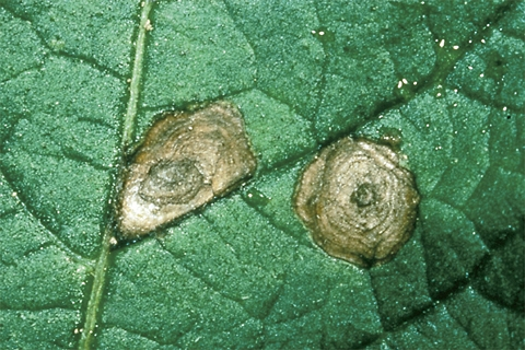 Early Blight on Potato Leaf