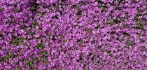 creeping thyme Thymus serp for Landscape Horticulture Updates for Southern California Blog