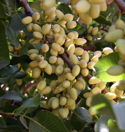 kearney pistachio
