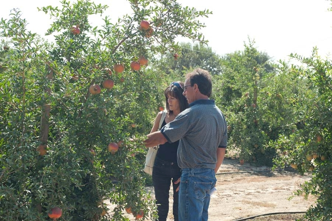Field day participants looking at a pomegranate tree in a KARE field