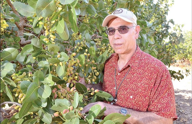 Dr. Themis Michailides inspecting pistachio trees in Australia for disease symptoms. (Photo courtesy of The Murray Pioneer Pty. Ltd.)