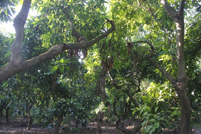 Avocado tree in Israel with limb breakage and branch dieback due to PSHB infestation and its Fusarium symbiont (photo by M. L. Arpaia).